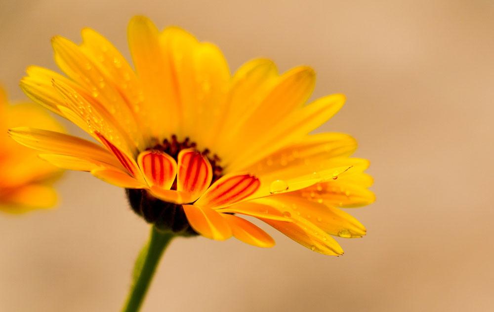 Pflanzenporträt: Calendula