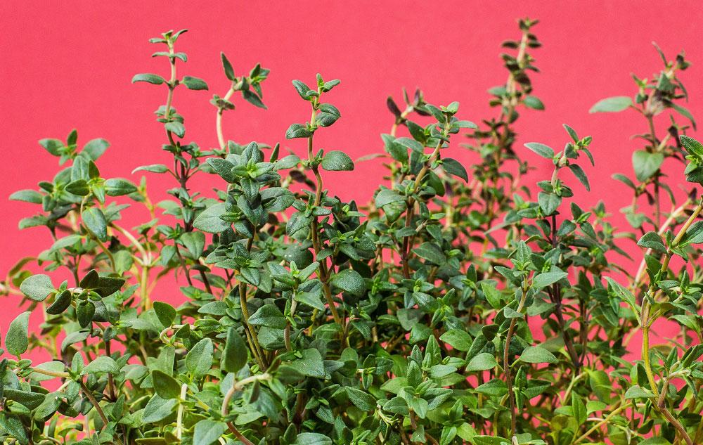 Pflanzenporträt: Thymian