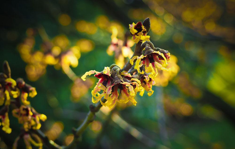 Pflanzenporträt: Hamamelis