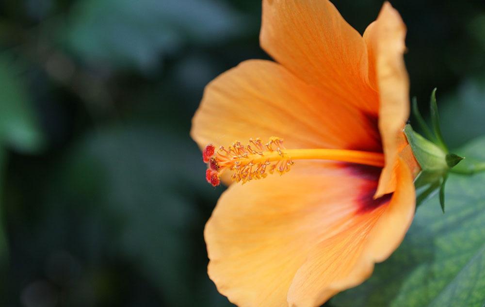 Pflanzenporträt: Malve
