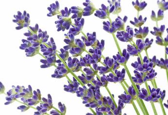 Pflanzenporträt: Lavendel