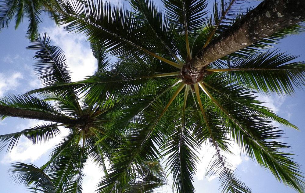 Unter Palmen: Das können Öl-, Kokos- und Dattelpalme