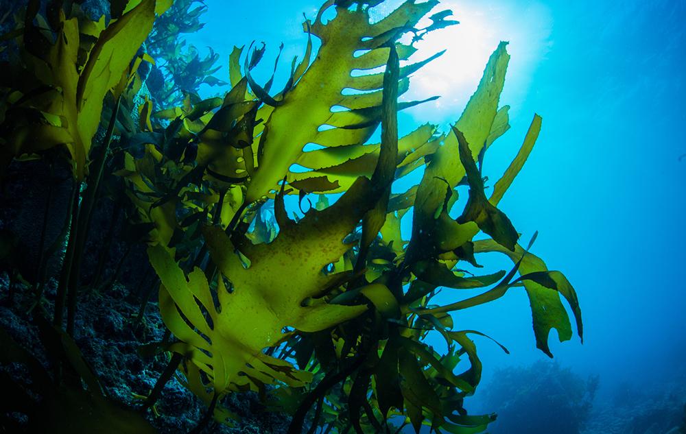 Power aus dem Meer: Algen