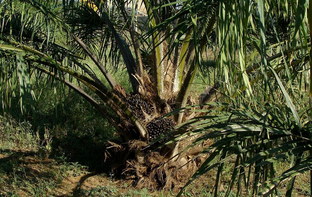 Auf die Palme gebracht: Ist Palmöl krebserregend?