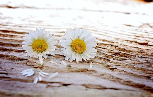 Pflanzenporträt: Gänseblümchen Bild: pixabay