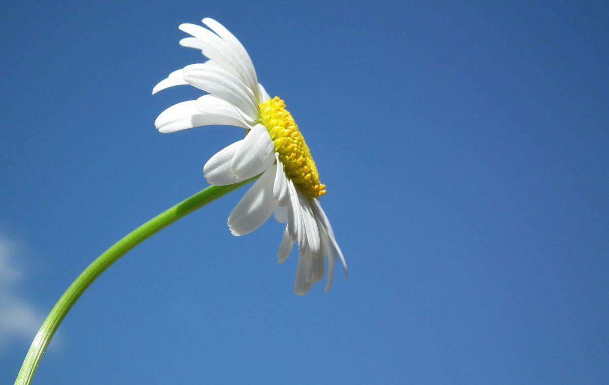 Pflanzenporträt: Gänseblümchen