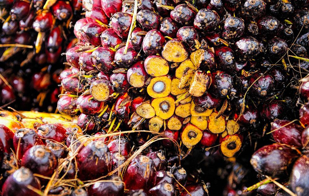 Palmöl: Warum schadet es dem Regenwald?