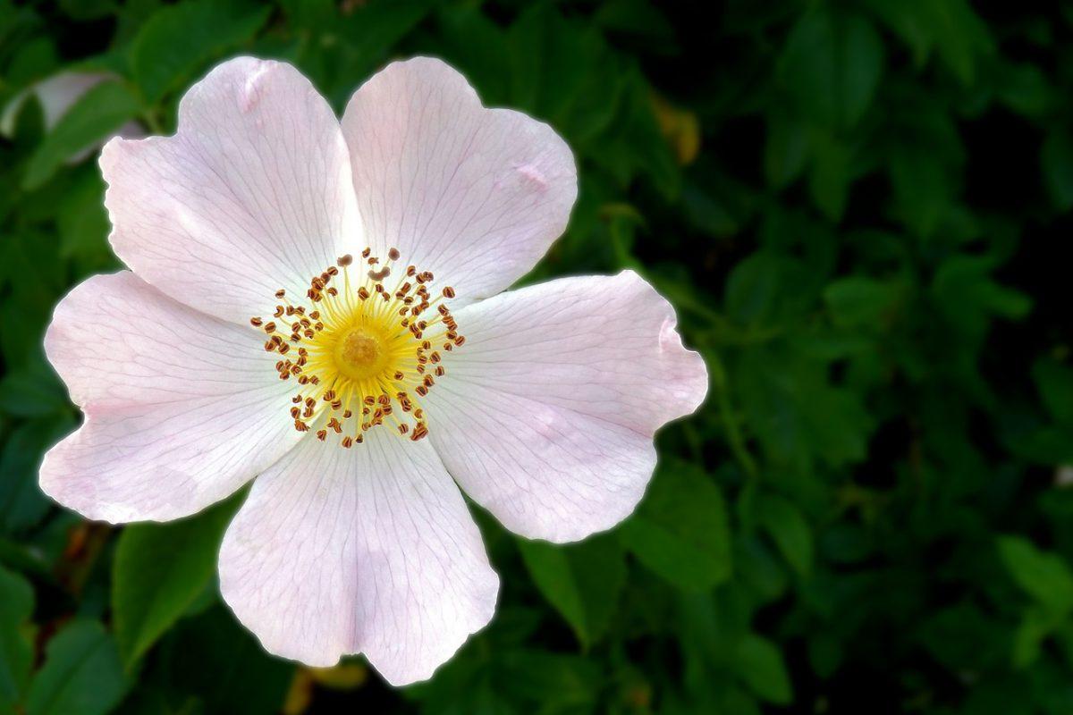 Pflanzenporträt: Wildrose