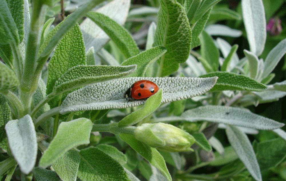 Pflanzenporträt: Salbei