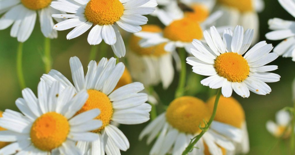 Titelbild Pflanzenportrait: Kamille Bild: pixabay