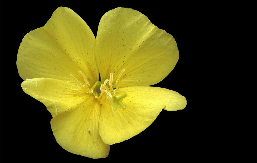Pflanzenporträt: Nachtkerze