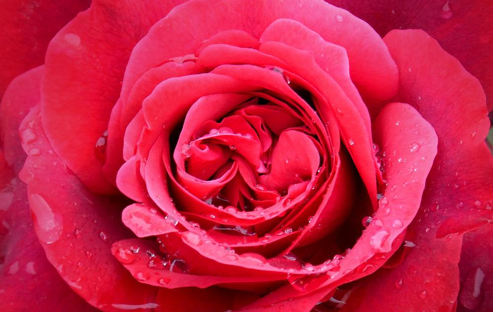 Pflanzenporträt: Rose