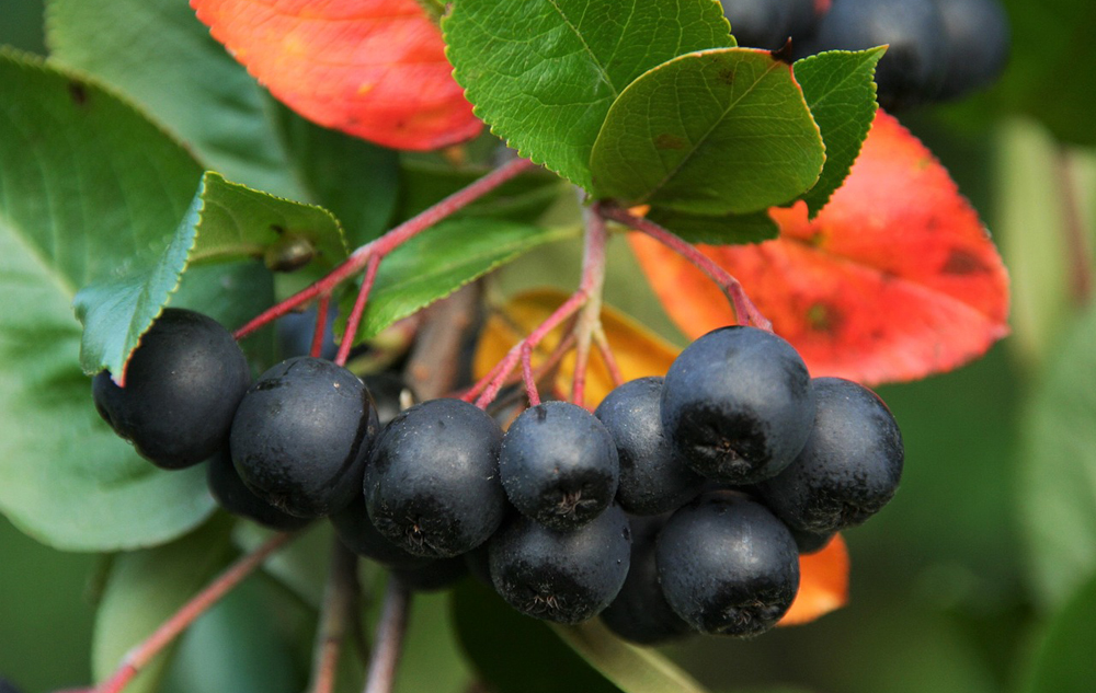 Superfood aronia-beere_web