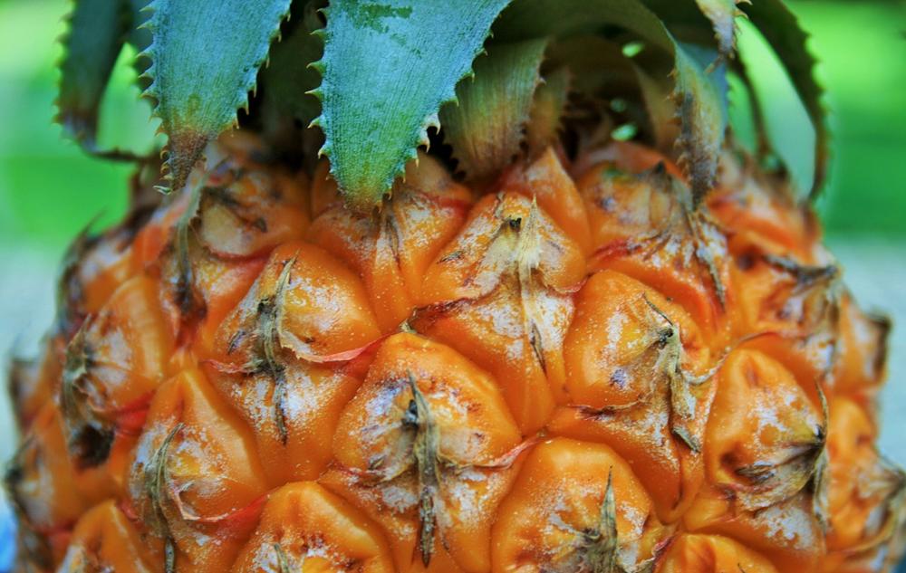 Pflanzenporträt: Ananas