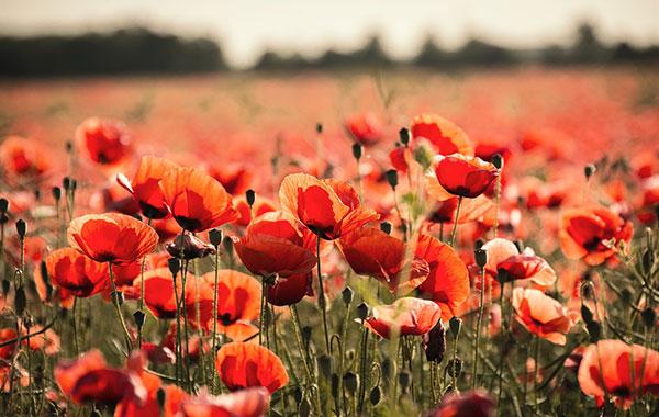 Pflanzenporträt: Klatschmohn Bild: pixabay